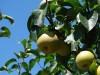 呉羽梨と梨畑